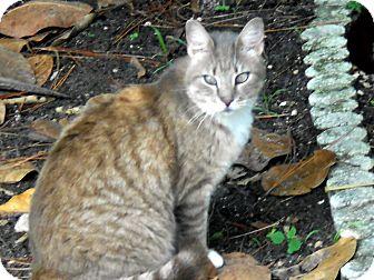 Domestic Mediumhair Cat for adoption in Bonita Springs, Florida - Sabrina