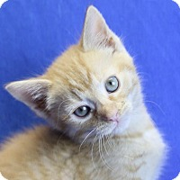 Domestic Shorthair Kitten for adoption in Winston-Salem, North Carolina - Apollo