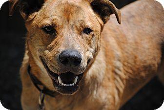 Cattle Dog/Hound (Unknown Type) Mix Dog for adoption in Breinigsville, Pennsylvania - Gunner