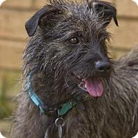 Adopt A Pet :: Shaggy - PORTLAND, ME