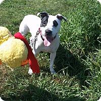 Adopt A Pet :: Bella - Bridgewater, NJ