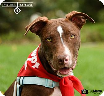 Pit Bull Terrier/Labrador Retriever Mix Dog for adoption in St Paul, Minnesota - Dallas