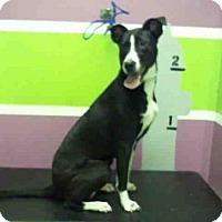 Adopt A Pet :: GARNET - Houston, TX