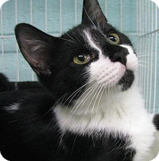 Domestic Shorthair Kitten for adoption in Las Cruces, New Mexico - Boing