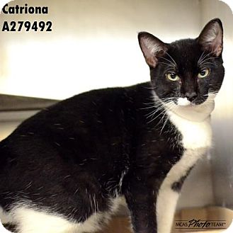 Domestic Mediumhair Cat for adoption in Conroe, Texas - CATRIONA