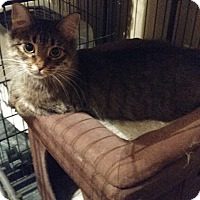 Domestic Shorthair Cat for adoption in Bolingbrook, Illinois - SALEM