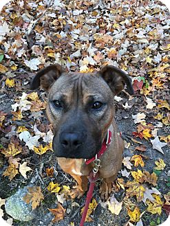 Retriever (Unknown Type) Mix Dog for adoption in Walden, New York - Poppy