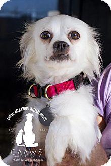 Shih Tzu/Brittany Mix Dog for adoption in Baton Rouge, Louisiana - Bella