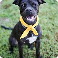 Labrador Retriever/Black Mouth Cur Mix Puppy for adoption in Lakeland, Florida - Tyson