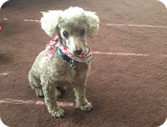 Poodle (Toy or Tea Cup) Dog for adoption in Melbourne, Florida - LITTLE JAKE
