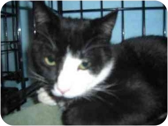 Domestic Shorthair Cat for adoption in Little Falls, New Jersey - WILL (DS)