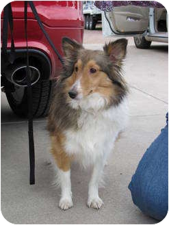 Sheltie, Shetland Sheepdog Dog for adoption in apache junction, Arizona - Bayleigh