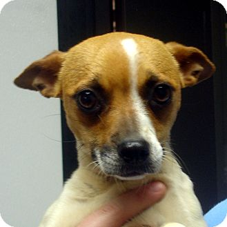 Jack Russell Terrier Dog for adoption in baltimore, Maryland - Amber