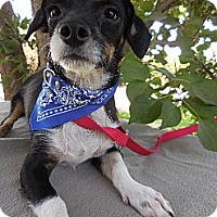 Terrier (Unknown Type, Medium) Mix Dog for adoption in Elk Grove, California - STRYKER