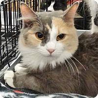 Adopt A Pet :: Contessa - Harrisburg, NC