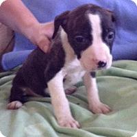 Adopt A Pet :: Dolly - Cincinnati, OH