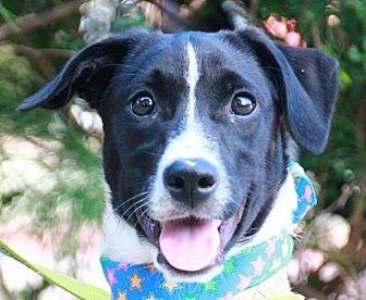 Labrador Retriever/Bernese Mountain Dog Mix Dog for adoption in San Francisco, California - Glenn