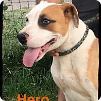 Adopt A Pet :: Hero - Old Saybrook, CT
