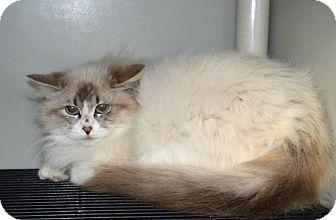 Siamese Cat for adoption in Pinckney, Michigan - Desiree
