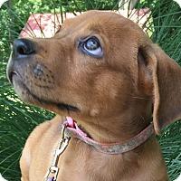 Adopt A Pet :: Clarisse - Alexandria, VA
