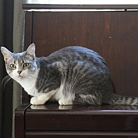 Domestic Shorthair Cat for adoption in Chandler, Arizona - Opal III