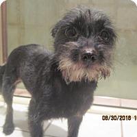 Terrier (Unknown Type, Medium) Mix Dog for adoption in La Mesa, California - TESS