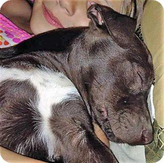 Labrador Retriever Mix Puppy for adoption in Boston, Massachusetts - Trigger