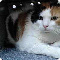 Adopt A Pet :: TIGER LILLY - Orlando, FL