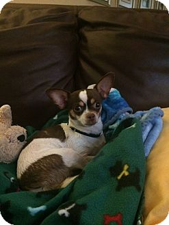 Chihuahua Dog for adoption in Chicago, Illinois - Annie
