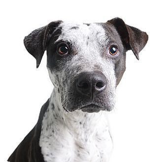 Pointer Mix Dog for adoption in Wilmington, Delaware - Spade *FEE REDUCED*