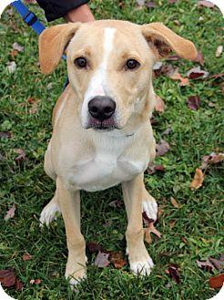 Labrador Retriever Mix Dog for adoption in Harrison, New York - Daniel