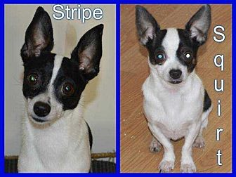 Chihuahua/Rat Terrier Mix Dog for adoption in LaGrange, Ohio - Squirt & Stripe