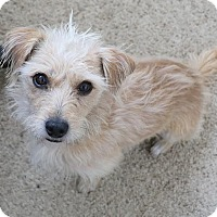 Cairn Terrier Mix Dog for adoption in Lakewood, Colorado - Pickwick
