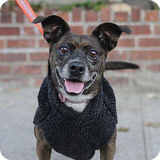Dachshund Mix Dog for adoption in Brooklyn, New York - Molley