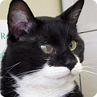 Domestic Shorthair Cat for adoption in Jefferson, Wisconsin - Sylvester - Adoption Fee Paid!