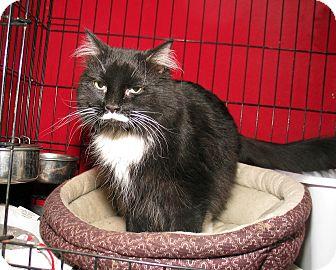 Domestic Longhair Cat for adoption in Milford, Massachusetts - Zoe