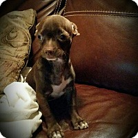 Adopt A Pet :: Louie - Houston, TX