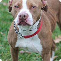Adopt A Pet :: Spade - Manahawkin, NJ