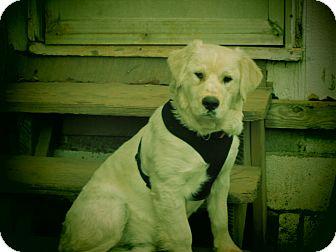 Golden Retriever Mix Dog for adoption in Atlanta, Georgia - Elton
