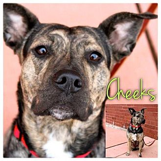 American Staffordshire Terrier/Boxer Mix Dog for adoption in Garden City, Michigan - Cheeks