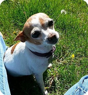 Chihuahua Mix Dog for adoption in Denver, Colorado - Sundae - therapy dog
