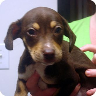 Beagle/Feist Mix Puppy for adoption in baltimore, Maryland - Conway
