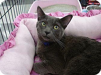 Domestic Shorthair Cat for adoption in Monrovia, California - Olivia