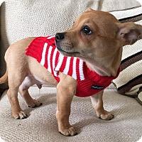 Adopt A Pet :: Luca - Houston, TX