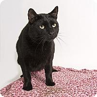 Domestic Shorthair Cat for adoption in Wilmington, Delaware - Starkey