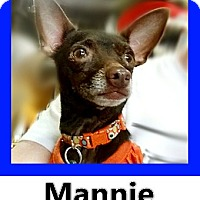 Chihuahua Mix Dog for adoption in Wichita Falls, Texas - Mannie