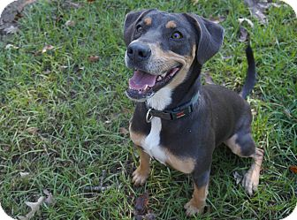 Hound (Unknown Type)/Rottweiler Mix Dog for adoption in Ravenel, South Carolina - Ember