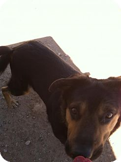 Rottweiler/German Shepherd Dog Mix Dog for adoption in Tonopah, Arizona - scooby