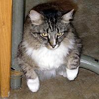 Domestic Longhair Cat for adoption in Naples, Florida - Sundance