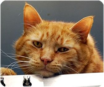 Domestic Shorthair Cat for adoption in Huntington, New York - Austin